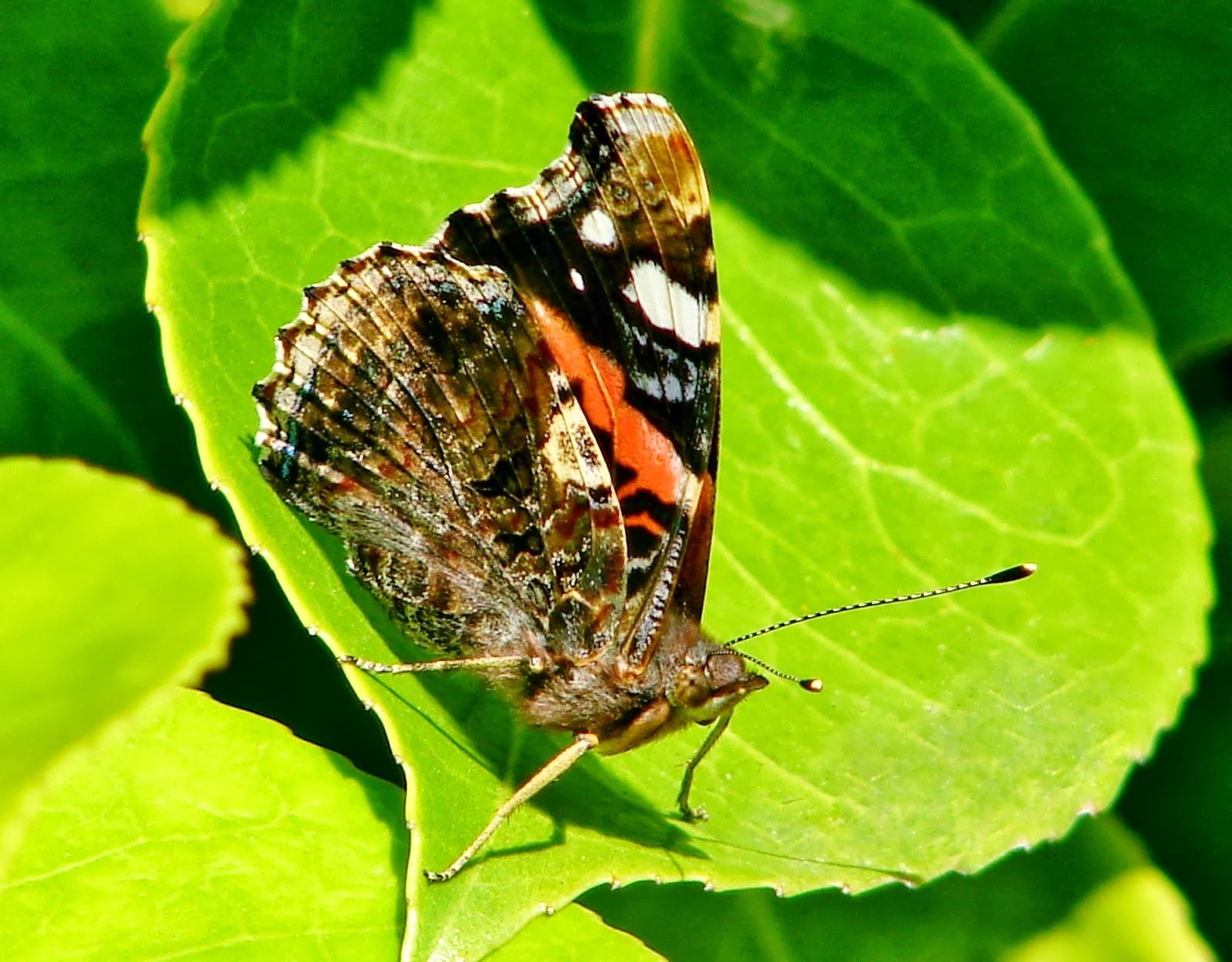 hideous rank butterfly